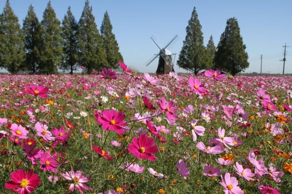 あけぼの山農業公園(コスモス)