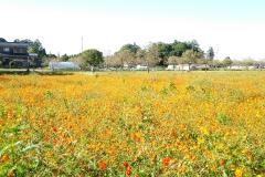 あけぼの山農業公園のキバナコスモス